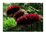 Рубиновые шишки Фотограф: vikirin  Просмотров: 3681 Комментариев: 0