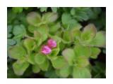 Название: рододендрон камчатский Фотоальбом: флора Категория: Природа  Время съемки/редактирования: NIKON CORPORATION Фотокамера: 0 Диафрагма: f/74099632.0 Выдержка: 1111490560/-37748721 Фокусное расстояние: 1111490560/15    Просмотров: 132 Комментариев: 0