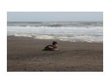 Молодой крохаль.. сидит отдыхает. Фотограф: vikirin  Просмотров: 1444 Комментариев: 0