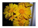 Хризантемма желтая Фотограф: vikirin  Просмотров: 1555 Комментариев: 7