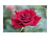 Название: IMG_3999 Фотоальбом: Цветы Категория: Макросъёмка  Просмотров: 151 Комментариев: 0