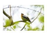 Птички  Японская мухоловка, самец   Просмотров: 215  Комментариев: 1