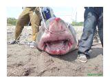 Название: Акула 2 Фотоальбом: Акула в Анивском заливе. Категория: Разное  Время съемки/редактирования: 2007:07:19 12:34:41 Фотокамера: Sony Ericsson - K790i Диафрагма: f/2.8 Выдержка: 1/400 Светочуствительность: 80   Просмотров: 3292 Комментариев: 4