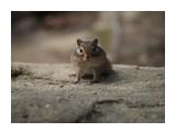 Название: Милый бурундучок Фотоальбом: Бурундуки Категория: Животные Фотограф: Vangeliya  Просмотров: 220 Комментариев: 0