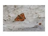 Бабочка на снегу ) Фотограф: VictorV  Просмотров: 529 Комментариев: 0