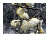 вербочки в снегу Фотограф: Дзюба Иван  Просмотров: 1451 Комментариев: 0