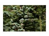 Новая зелень отросла на голубых елках Фотограф: vikirin  Просмотров: 1619 Комментариев: 0