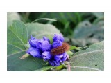 Pericallia matronula Гусеница бабочки Медведицы-хозяйки  Просмотров: 92 Комментариев: