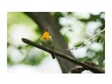 Японская мухоловка, самец
