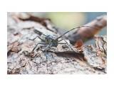 Чёрный пихтовый усач, самка Фотограф: VictorV  Просмотров: 502 Комментариев: 0