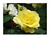 Название: DSC07434_н Фотоальбом: Розы в сквере музея Категория: Цветы  Время съемки/редактирования: 2016:07:29 11:06:32 Фотокамера: SONY - DSC-HX300 Диафрагма: f/6.3 Выдержка: 1/250 Фокусное расстояние: 21500/100    Просмотров: 39 Комментариев: 0