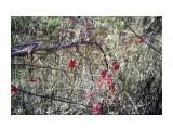 лимонник Фотограф: sergei6401  Просмотров: 3616 Комментариев: 0