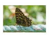 Бархатница Японская Фотограф: Tsygankov Yuriy Neope niphonica Butler  Просмотров: 284 Комментариев: 0