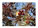 Оливковый дрозд  Просмотров: 449 Комментариев: 0