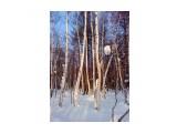 Тепло лучей на закате по березовым стволам.. Фотограф: vikirin  Просмотров: 3773 Комментариев: 0