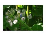 Те самые цветы лопуха, которые весной были первыми зелеными звоздами из-под снега... Фотограф: vikirin  Просмотров: 2137 Комментариев: 0