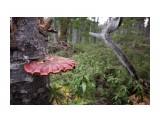 Название: Ganoderma lucidum Фотоальбом: Грибочки Категория: Природа Фотограф: Tsygankov Yuriy  Время съемки/редактирования: 2020:11:01 11:55:53 Фотокамера: Canon - Canon EOS 60D Выдержка: 1/125 Фокусное расстояние: 50/1    Просмотров: 19 Комментариев: 0