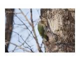 Зеленый или седой дятел? Фотограф: Tsygankov Yuriy  Просмотров: 145 Комментариев: 2
