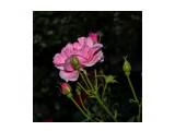 роза в ночи