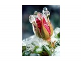 Название: Роза на морозе. Фотоальбом: Цветы. Удивительное всегда рядом Категория: Макросъёмка  Просмотров: 232 Комментариев: 0