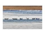 CK5A8225 Нерпы на полынье на речке Найба (02.12.180  Просмотров: 411 Комментариев: 2