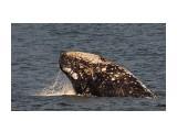 серый кит Фотограф: В.Дейкин  Просмотров: 1047 Комментариев: 2