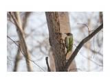 Зеленый или седой дятел? Фотограф: Tsygankov Yuriy  Просмотров: 105 Комментариев: 0