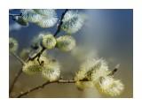 Название: Вербное воскресенье. Фотоальбом: Природа-2 Категория: Природа  Просмотров: 77 Комментариев: 0