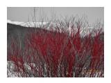 Весна идёт! дёрен сибирский.  Просмотров: 345 Комментариев: 0