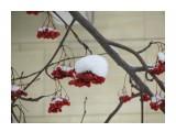 Сугробики на красной рябине  Просмотров: 1406 Комментариев: