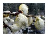Вербочки в снегу Фотограф: Дзюба Иван  Просмотров: 1520 Комментариев: 0
