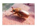 какойто родственник майского жука