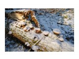 IMGP2657 Зима пришла! И грибы замела! 30.10.jpg сах Фотограф: viktorb  Просмотров: 1061 Комментариев: 0
