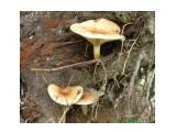 tasya: Свинушка (тонкая) ядовитый гриб.