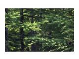 Лес кругом.. лиственница Фотограф: vikirin  Просмотров: 2022 Комментариев: 0
