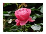 Название: DSC07400_н Фотоальбом: Розы в сквере музея Категория: Цветы  Время съемки/редактирования: 2016:07:29 10:47:19 Фотокамера: SONY - DSC-HX300 Диафрагма: f/6.3 Выдержка: 1/250 Фокусное расстояние: 21500/100    Просмотров: 25 Комментариев: 0