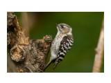 Птички  Малый острокрылый дятел  Japanese Pygmy Woodpecker   Просмотров: 116  Комментариев: 1
