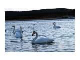 Лебеди в Охотском 04.2011  Просмотров: 1431 Комментариев: 4