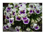 Белые анютки с фиолетовым глазком Фотограф: vikirin  Просмотров: 946 Комментариев: 0