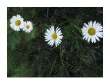 В лесу.. четыре одинокие ромашки.... Фотограф: vikirin  Просмотров: 4265 Комментариев: 0