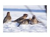 Название: У свиристелей разборки тоже бывают ) Фотоальбом: Птички Категория: Животные Фотограф: VictorV  Время съемки/редактирования: 2021:02:01 18:54:06 Фотокамера: SONY - ILCA-77M2 Диафрагма: f/5.0 Выдержка: 1/2500 Фокусное расстояние: 4000/10    Просмотров: 45 Комментариев: 0