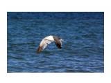 Название: Каков полет! какая грация !  Фотоальбом: 2013 09 У моря... Чайки... Категория: Животные Фотограф: vikirin  Время съемки/редактирования: 2013:09:02 10:11:42 Фотокамера: Canon - Canon EOS Kiss X3 Диафрагма: f/14.0 Выдержка: 1/2000 Фокусное расстояние: 250/1    Просмотров: 1696 Комментариев: 0