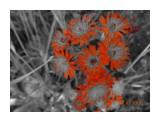 Ястрибиночка оранжевая  Просмотров: 423 Комментариев: 0
