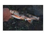 Случайная рыбалка, закинули - каак давай клевать. Фотограф: vikirin  Просмотров: 950 Комментариев: 0