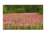 Розовый июль.. цветенье иван-чая... Фотограф: vikirin  Просмотров: 2121 Комментариев: 0