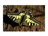 Прилетит...крылышки разложит.. и ну позировать.... Фотограф: vikirin  Просмотров: 1684 Комментариев: 0