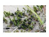 Шикши на песке растет море.. Фотограф: vikirin  Просмотров: 2831 Комментариев: 0