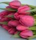 Тюльпан Барселона (розовый)