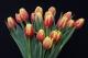 Тюльпан Денмарк (Красный/желтый)